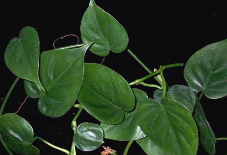 Аглаонема Aglaonema  виды уход проблемы выращивания