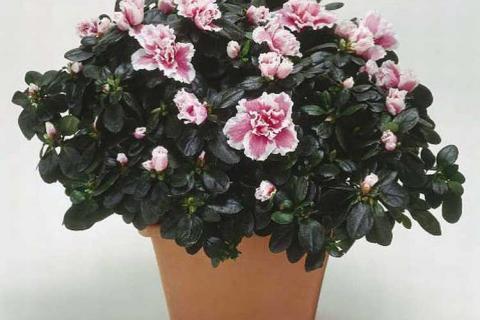 бело-розовая азалия
