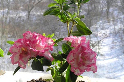 крупные цветки азалии