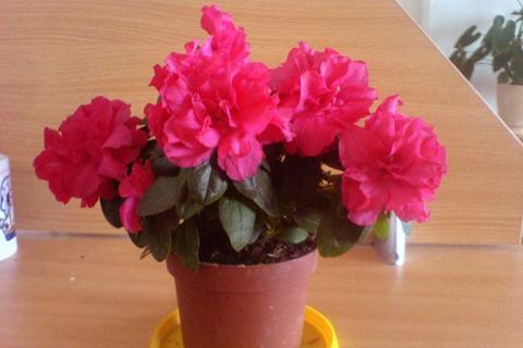 ярко-розовая азалия