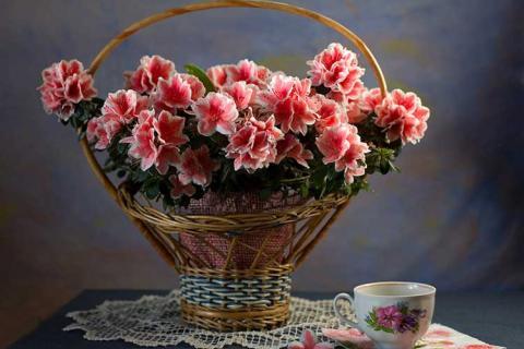 розово-белая азалия в корзине