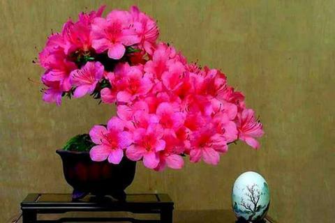 ярко-розовые цветы азалии