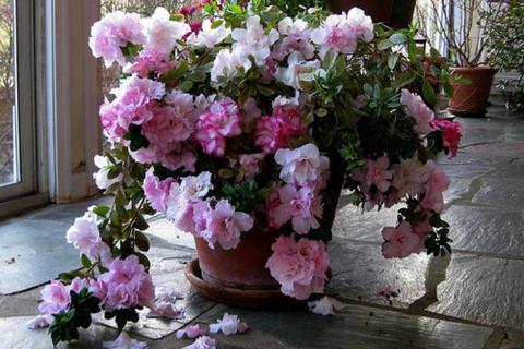 розово-белая азалия
