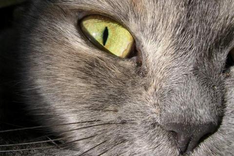 морда серого кота