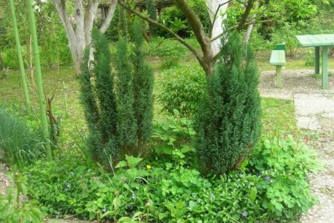 Кипарисовики в саду