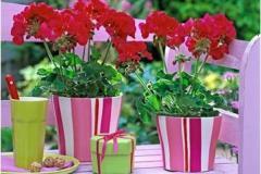 цветы пеларгонии в полосатых горшках