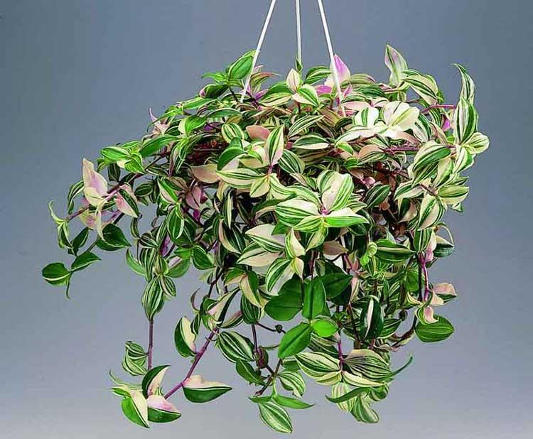 Цветущие комнатные растения фото и названия Комнатные цветы 55